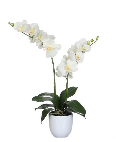 Phalaenopsis 2-Trieber creme 60cm